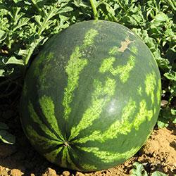Cityfarm Organic Watermelon (KG)