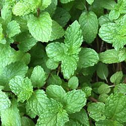 DEĞİRMEN ÇİFTLİĞİ Organic Green Mint (Pcs)