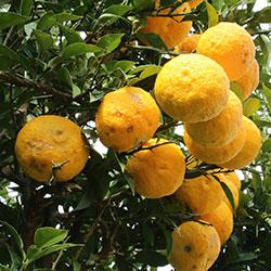 DEĞİRMEN ÇİFTLİĞİ Organik Ağaç Kavunu (KG)