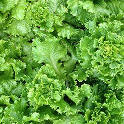 City Farm Organik Kıvırcık (ADET)