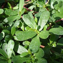 DEĞİRMEN ÇİFTLİĞİ Organik Semizotu (BAĞ)